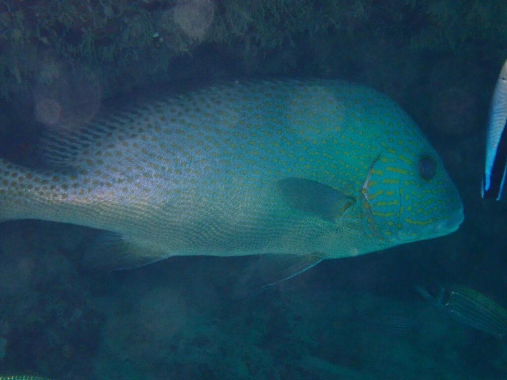 コロダイ(成魚)