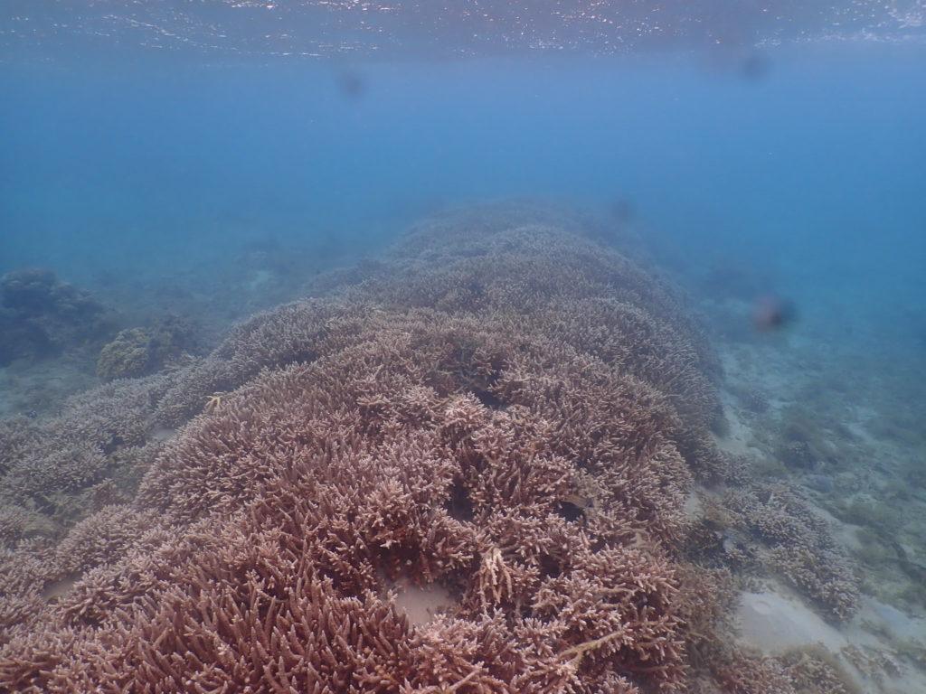 奥武島のサンゴ