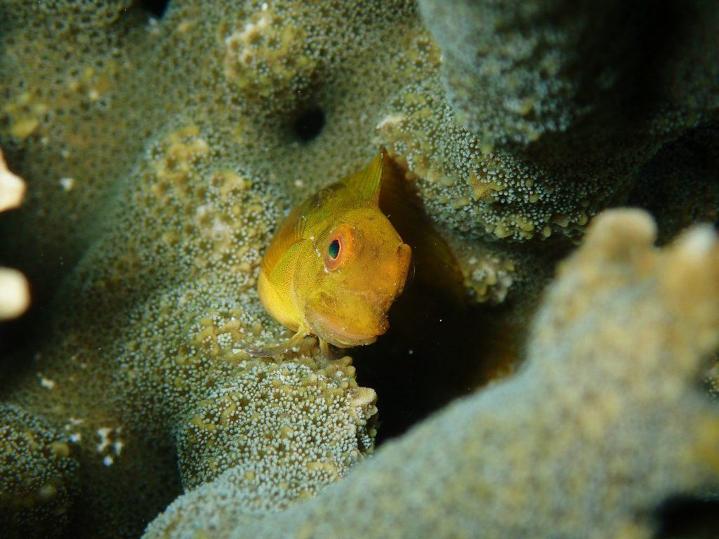 インドカエルウオの幼魚