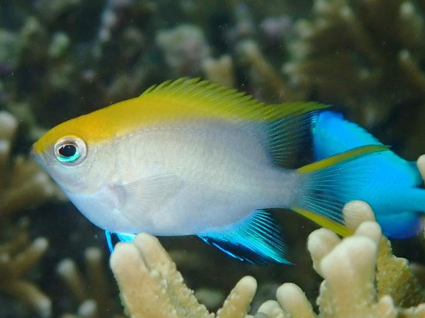 クロスズメダイの幼魚