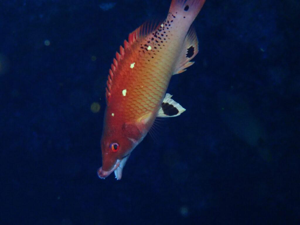 モンツキベラの成魚