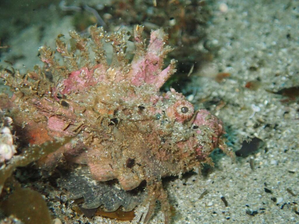 オニカサゴの幼魚
